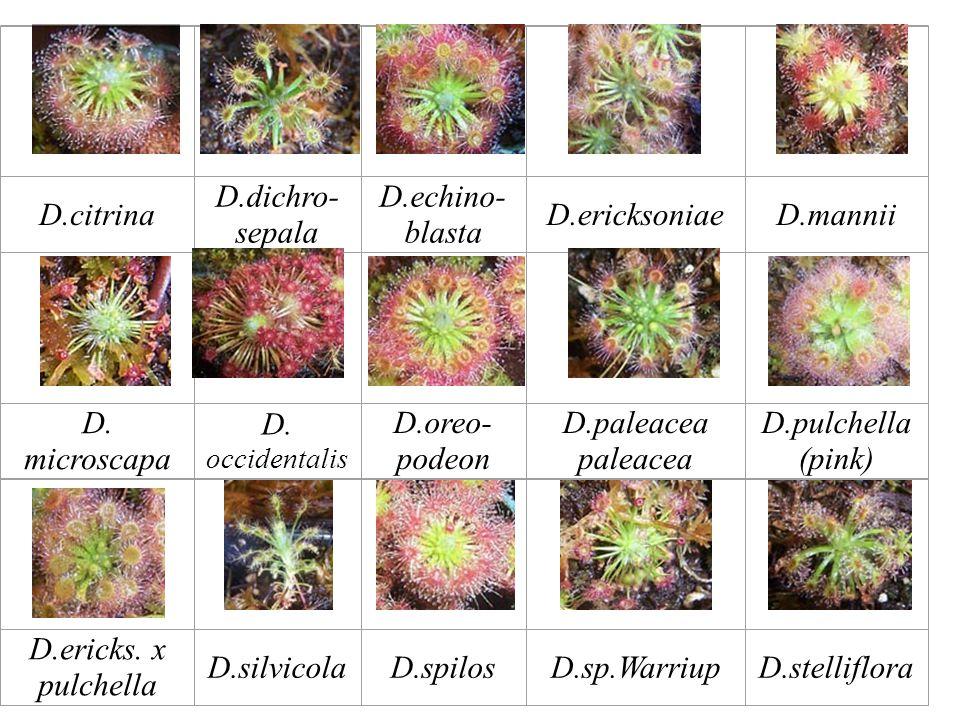 D.citrina D.dichro- sepala D.echino- blasta D.ericksoniaeD.mannii D.