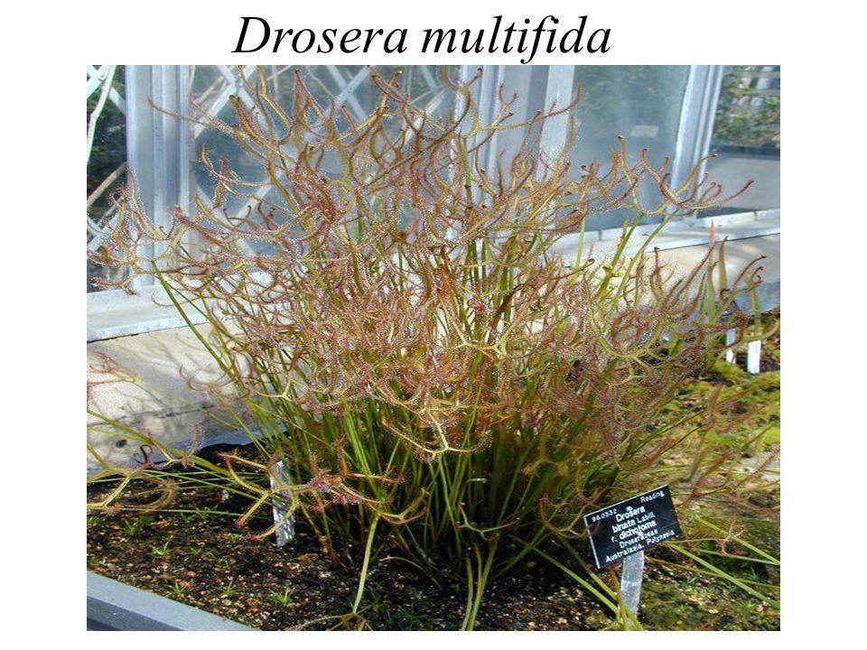 Drosera multifida