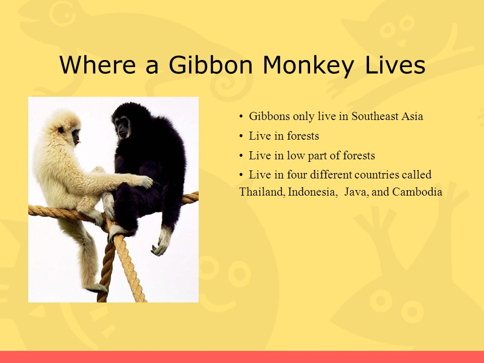 Where a Gibbon Monkey Lives Gibbons only live in Southeast Asia Live in forests Live in low part of forests Live in four different countries called Thailand, Indonesia, Java, and Cambodia