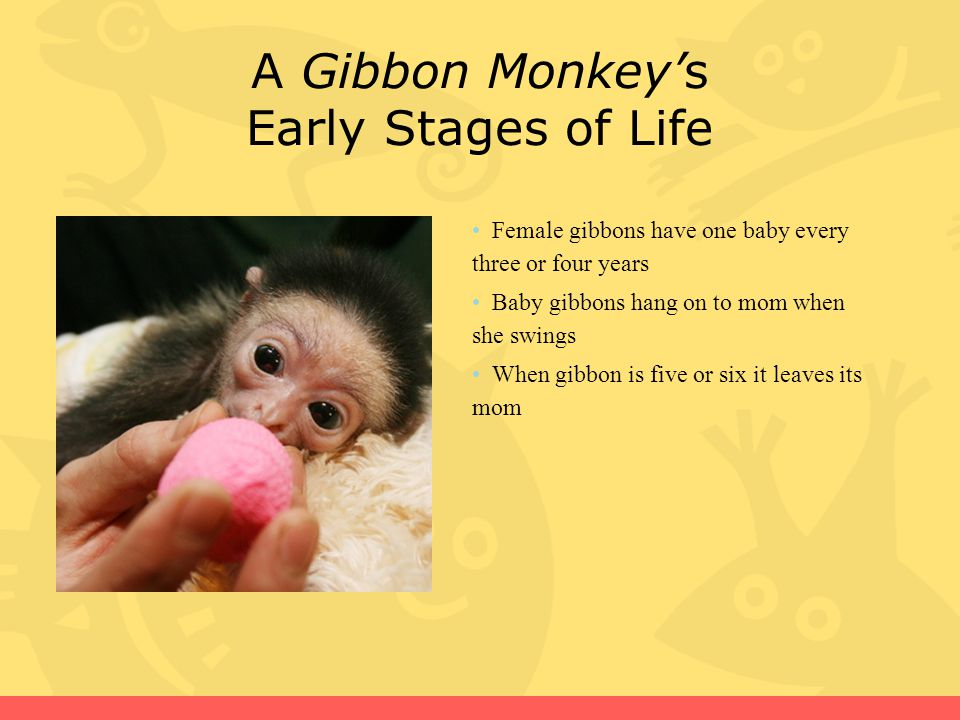 Why Gibbon Monkeys Are Endangered Only 110 remaining People cut down trees for farm land which is their habitat
