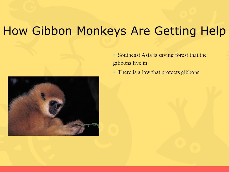 How Gibbon Monkeys Are Getting Help Southeast Asia is saving forest that the gibbons live in There is a law that protects gibbons