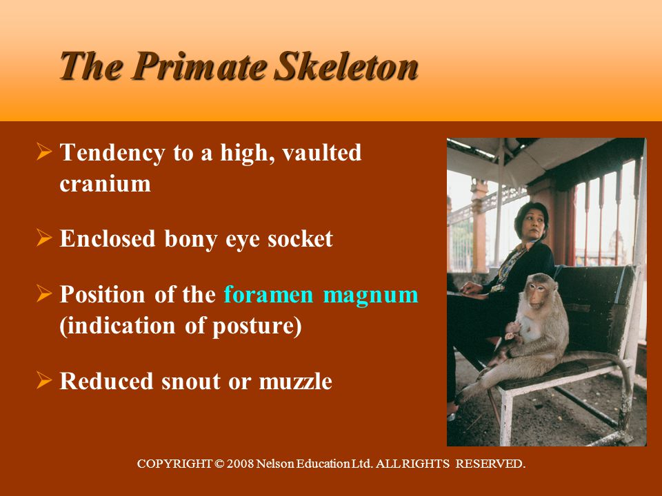 COPYRIGHT © 2008 Nelson Education Ltd. ALL RIGHTS RESERVED. The Primate Skeleton  Tendency to a high, vaulted cranium  Enclosed bony eye socket  Po