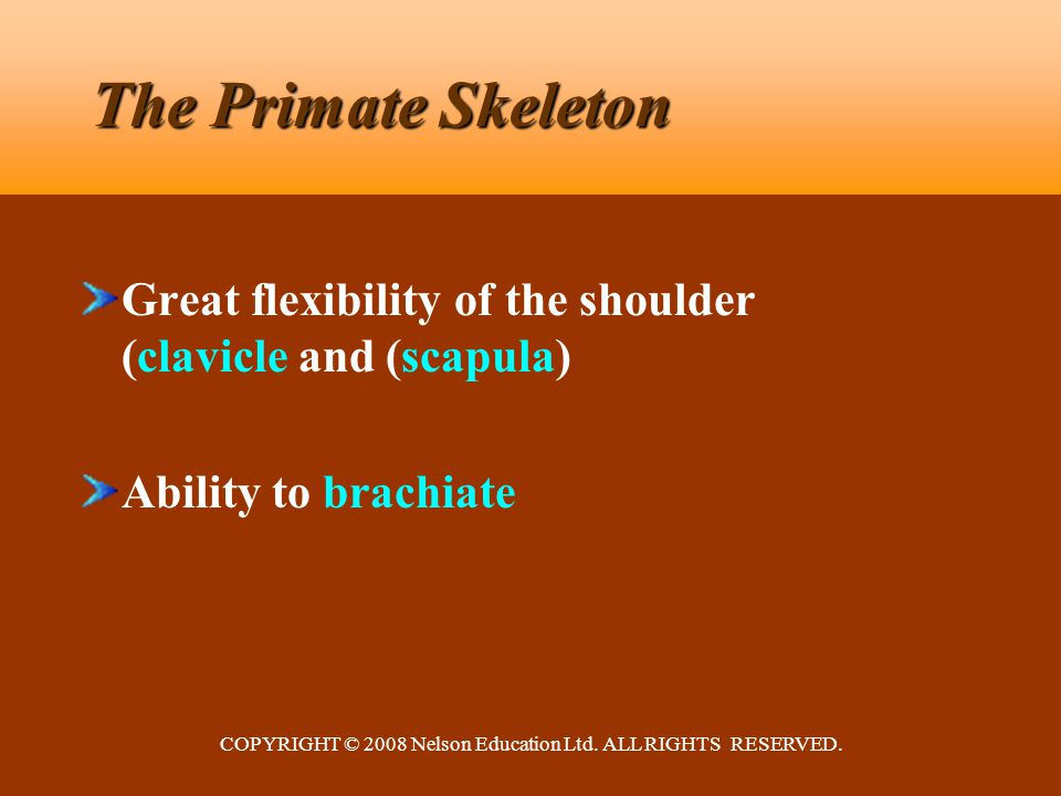 COPYRIGHT © 2008 Nelson Education Ltd. ALL RIGHTS RESERVED. The Primate Skeleton Great flexibility of the shoulder (clavicle and (scapula) Ability to