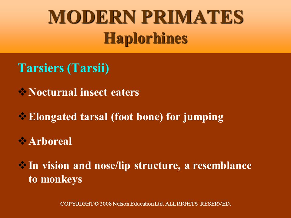 COPYRIGHT © 2008 Nelson Education Ltd. ALL RIGHTS RESERVED. MODERN PRIMATES Haplorhines Tarsiers (Tarsii)  Nocturnal insect eaters  Elongated tarsal