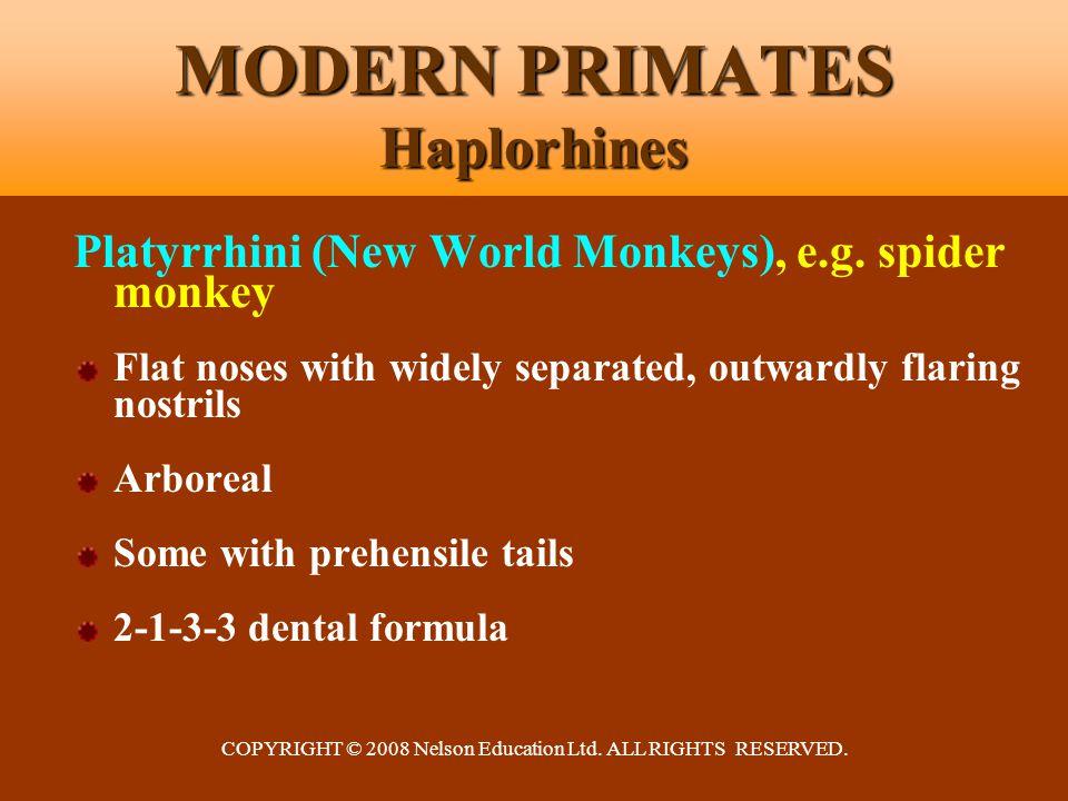 COPYRIGHT © 2008 Nelson Education Ltd. ALL RIGHTS RESERVED. MODERN PRIMATES Haplorhines Platyrrhini (New World Monkeys), e.g. spider monkey Flat noses
