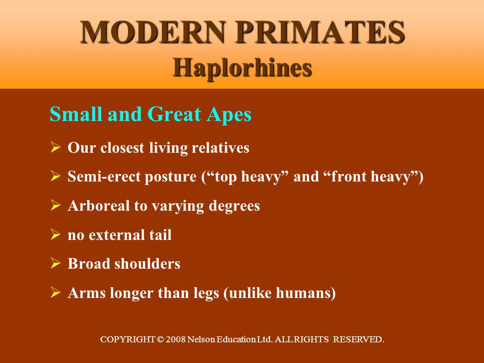 COPYRIGHT © 2008 Nelson Education Ltd. ALL RIGHTS RESERVED. MODERN PRIMATES Haplorhines Small and Great Apes  Our closest living relatives  Semi-ere
