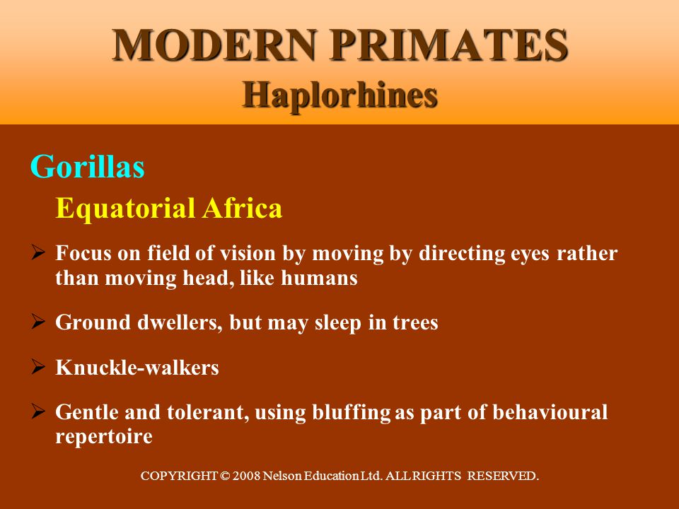 COPYRIGHT © 2008 Nelson Education Ltd. ALL RIGHTS RESERVED. MODERN PRIMATES Haplorhines Gorillas Equatorial Africa  Focus on field of vision by movin