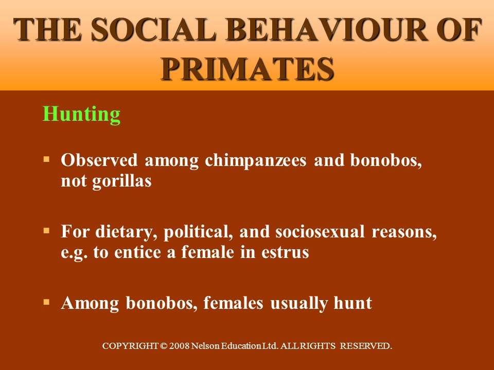 COPYRIGHT © 2008 Nelson Education Ltd. ALL RIGHTS RESERVED. THE SOCIAL BEHAVIOUR OF PRIMATES Hunting  Observed among chimpanzees and bonobos, not gor