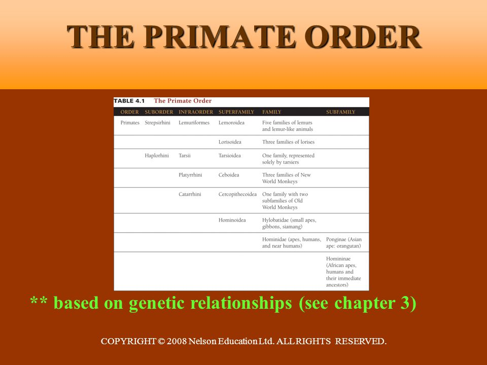 COPYRIGHT © 2008 Nelson Education Ltd. ALL RIGHTS RESERVED. THE PRIMATE ORDER ** based on genetic relationships (see chapter 3)
