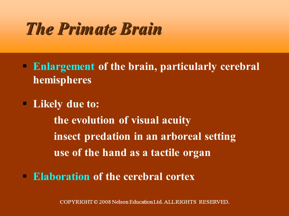COPYRIGHT © 2008 Nelson Education Ltd. ALL RIGHTS RESERVED. The Primate Brain  Enlargement of the brain, particularly cerebral hemispheres  Likely d