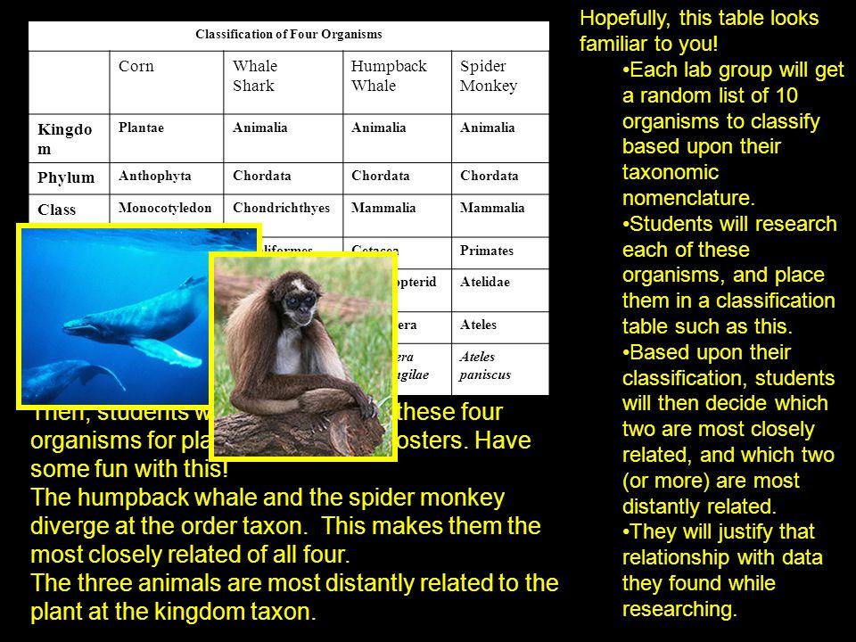 Classification of Four Organisms CornWhale Shark Humpback Whale Spider Monkey Kingdo m PlantaeAnimalia Phylum AnthophytaChordata Class Monocotyledon e