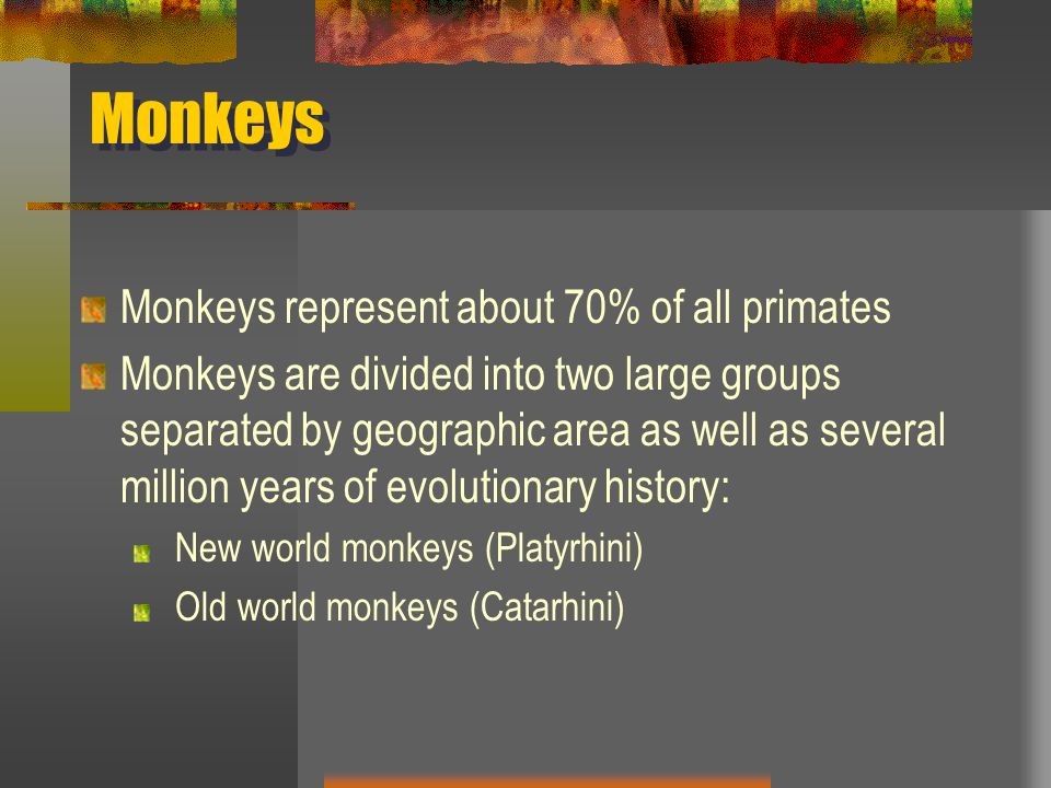Monkeys Monkeys represent about 70% of all primates Monkeys are divided into two large groups separated by geographic area as well as several million years of evolutionary history: New world monkeys (Platyrhini) Old world monkeys (Catarhini)
