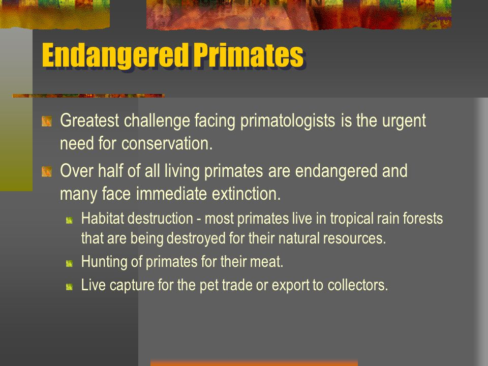 Endangered Primates Greatest challenge facing primatologists is the urgent need for conservation.