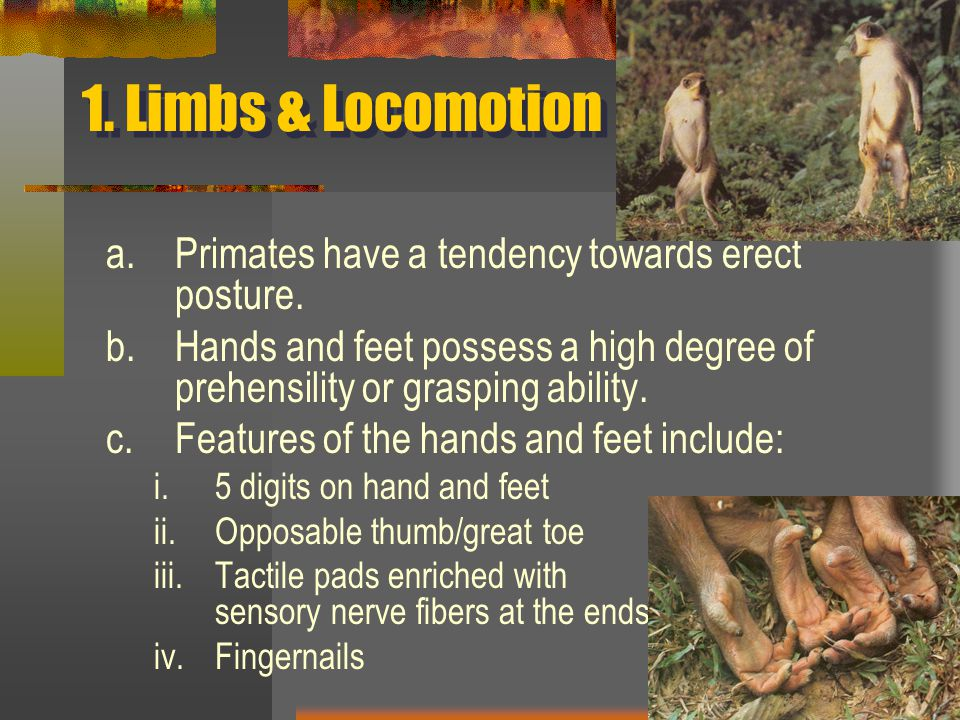 1. Limbs & Locomotion a.Primates have a tendency towards erect posture.
