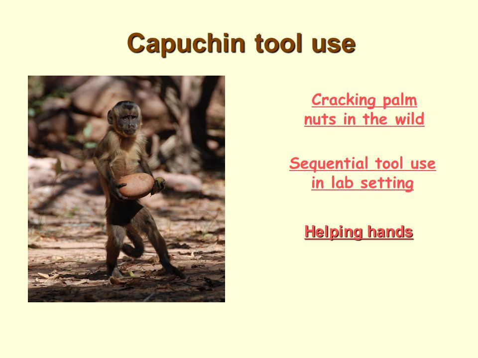 Capuchin hammer / anvil technique Used to crack open palm nuts. Significance of this activity: requires complex cognitive mapping (planning and foresi