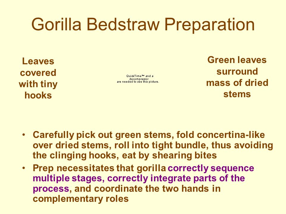 Gorilla Culture: Food Preparation Sophisticated complexity of design in nettle-, bedstraw-, and wild celery preparation Techniques different for each