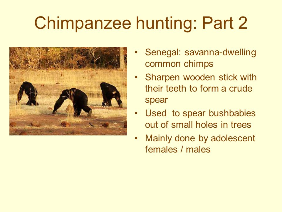 Hunting Behavior Usually done by males (sometimes females participate Variety of styles –Individual –Cooperative (males hunt, selected females share i