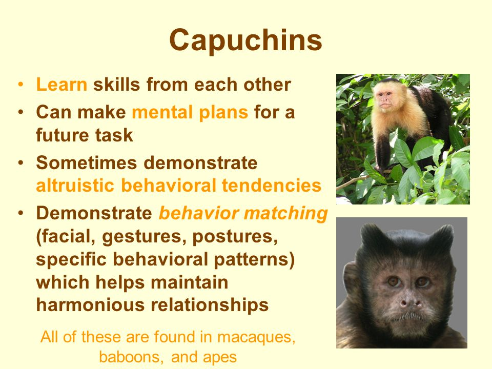 Culture (Socially Learned Traditions) in Non-human Primates New World Monkeys –Capuchins Old World (Afro-Eurasia) Monkeys –Macaques (Rhesus; Snow monk