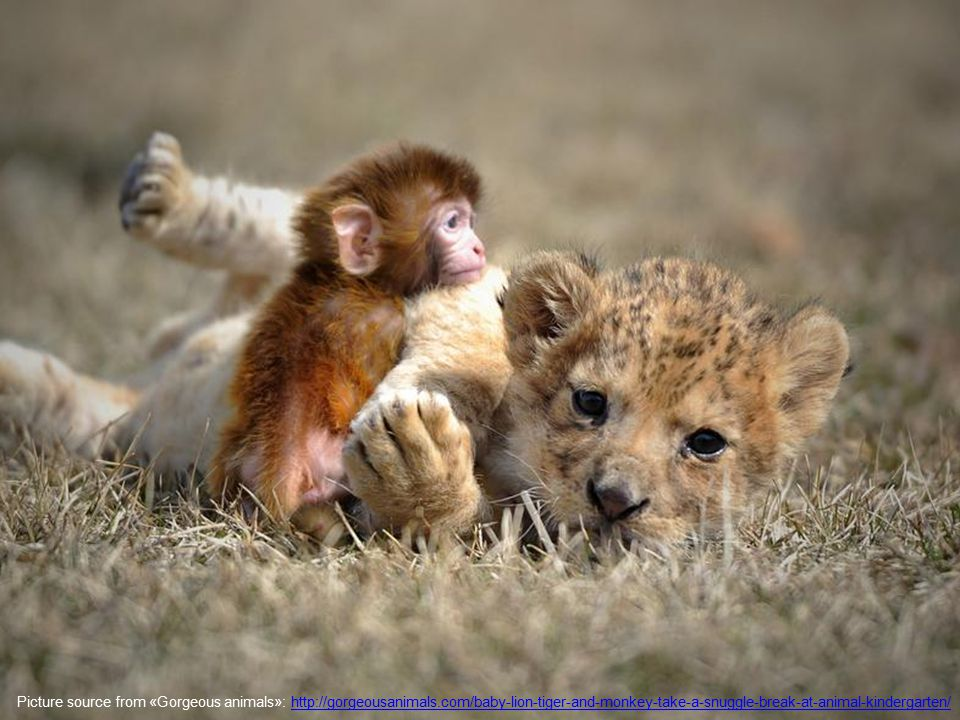 Picture source from «Gorgeous animals»: http://gorgeousanimals.com/baby-lion-tiger-and-monkey-take-a-snuggle-break-at-animal-kindergarten/http://gorgeousanimals.com/baby-lion-tiger-and-monkey-take-a-snuggle-break-at-animal-kindergarten/