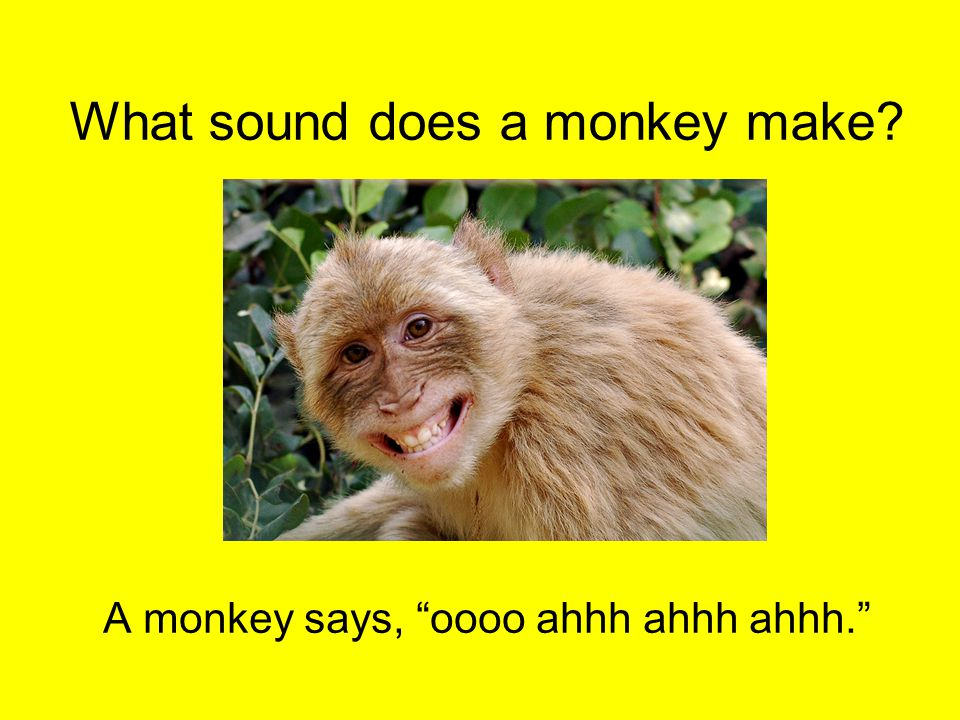 "What sound does a monkey make? A monkey says, ""oooo ahhh ahhh ahhh."""