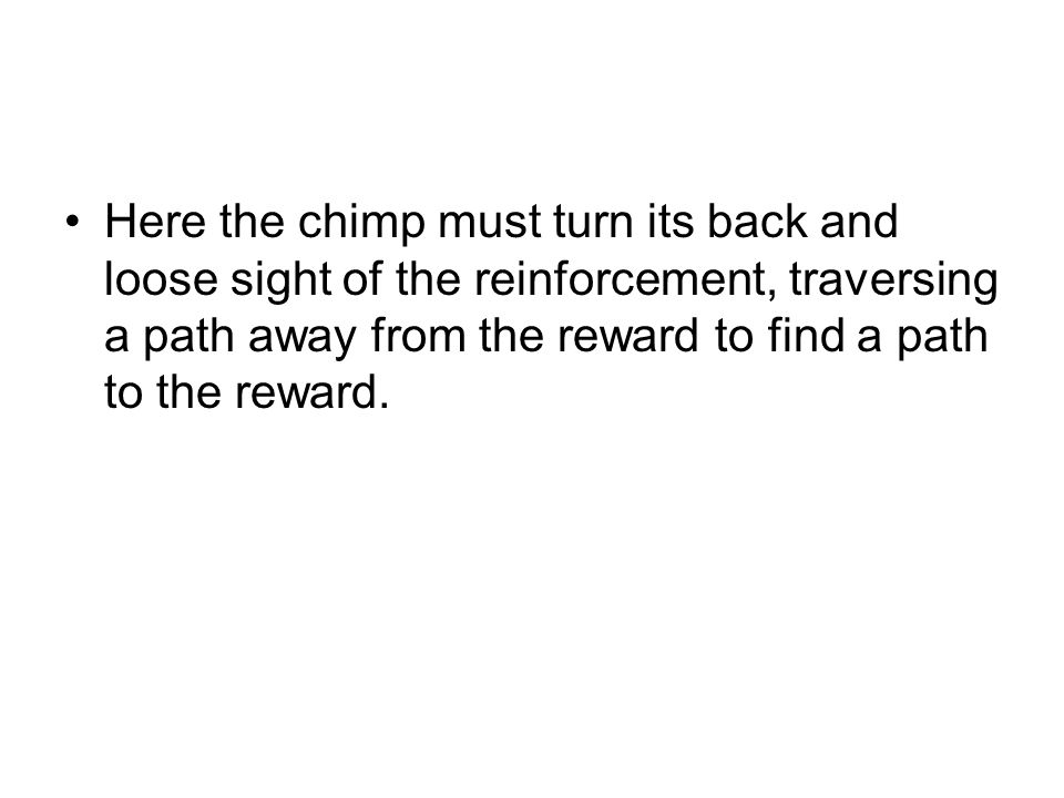 Here the chimp must turn its back and loose sight of the reinforcement, traversing a path away from the reward to find a path to the reward.