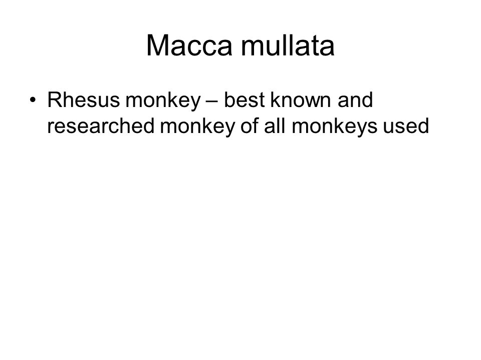 Macca mullata Rhesus monkey – best known and researched monkey of all monkeys used