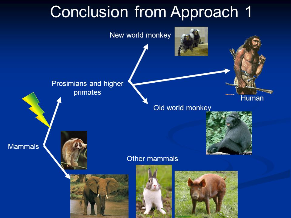 Mammals Prosimians and higher primates New world monkey Old world monkey Other mammals Conclusion from Approach 1 Human