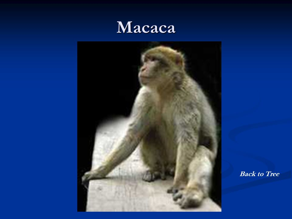 Macaca Back to Tree