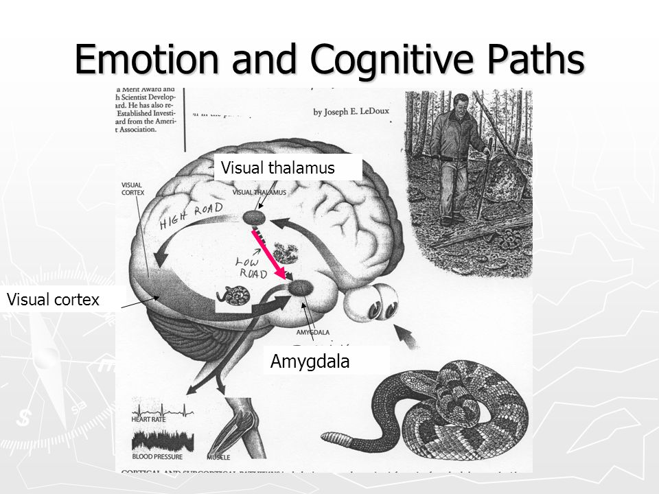 LeDoux and the snake ► Walking in woods. ► See what may be a snake. ► Limbic system responds first: CAUTION! STOP! ► Cortex catches up a second or two