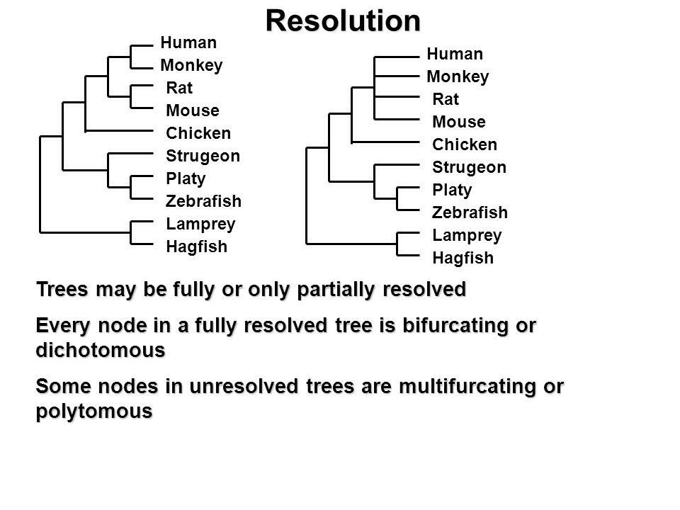 Resolution Trees may be fully or only partially resolved Every node in a fully resolved tree is bifurcating or dichotomous Some nodes in unresolved trees are multifurcating or polytomous Human Monkey Rat Mouse Strugeon Chicken Zebrafish Platy Lamprey Hagfish Human Monkey Rat Mouse Strugeon Chicken Zebrafish Platy Lamprey Hagfish