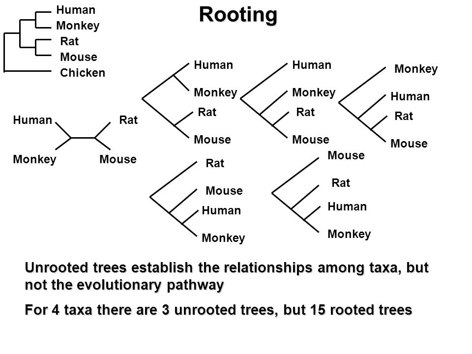 Rooting Unrooted trees establish the relationships among taxa, but not the evolutionary pathway For 4 taxa there are 3 unrooted trees, but 15 rooted trees Human Monkey Rat Mouse Chicken Human Monkey Rat Mouse Human Monkey Rat Mouse Human Monkey Rat Mouse Human Monkey Rat Mouse Human Monkey Rat Mouse Human Monkey Rat Mouse