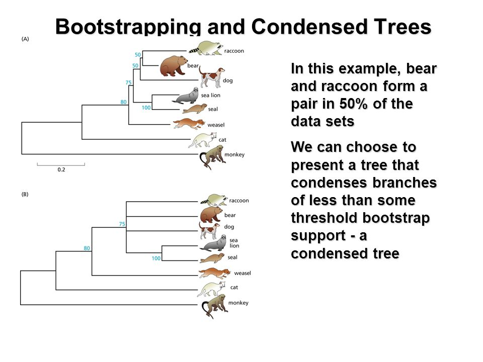 Bootstrapping and Condensed Trees In this example, bear and raccoon form a pair in 50% of the data sets We can choose to present a tree that condenses branches of less than some threshold bootstrap support - a condensed tree
