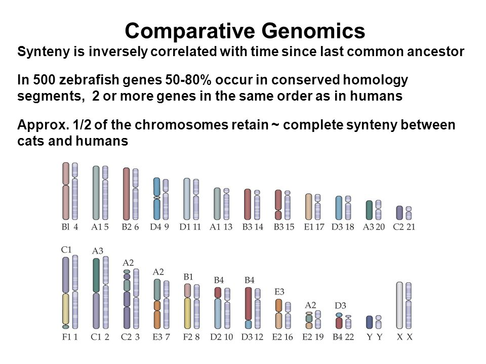 Comparative Genomics Synteny is inversely correlated with time since last common ancestor In 500 zebrafish genes 50-80% occur in conserved homology segments, 2 or more genes in the same order as in humans Approx.