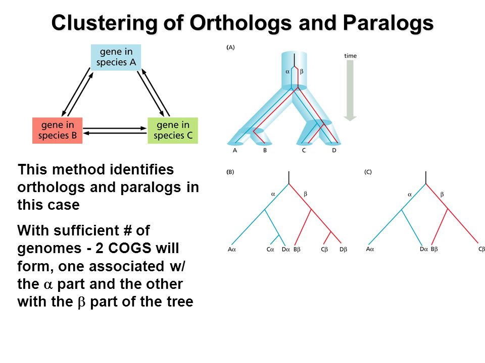 This method identifies orthologs and paralogs in this case With sufficient # of genomes - 2 COGS will form, one associated w/ the  part and the other with the  part of the tree Clustering of Orthologs and Paralogs