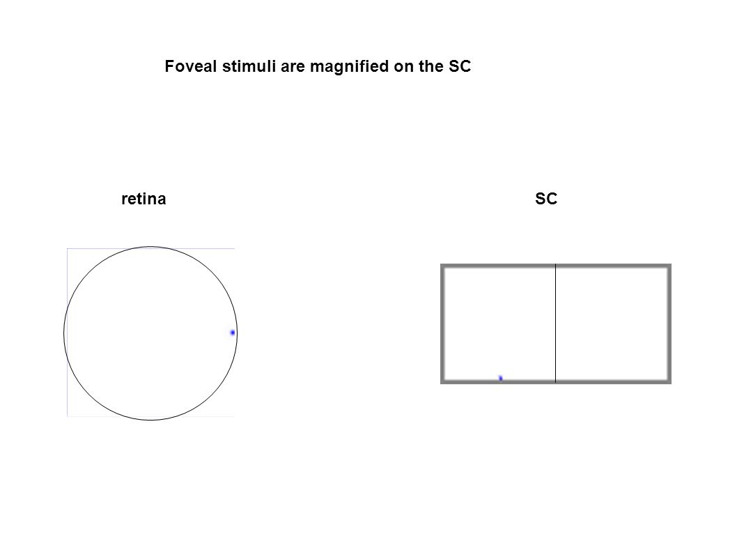 Foveal stimuli are magnified on the SC retinaSC