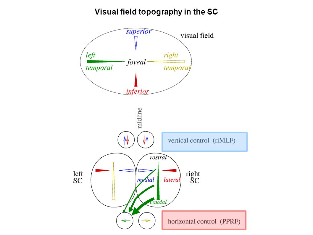 Visual field topography in the SC