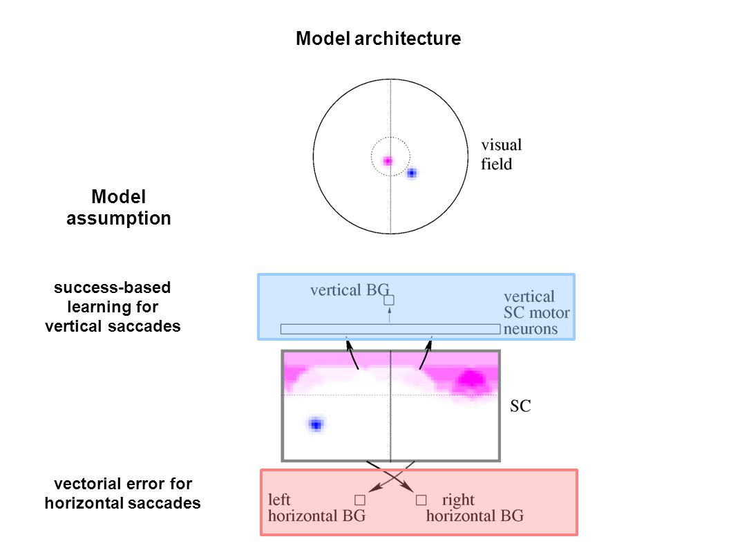 Model architecture vectorial error for horizontal saccades success-based learning for vertical saccades Model assumption
