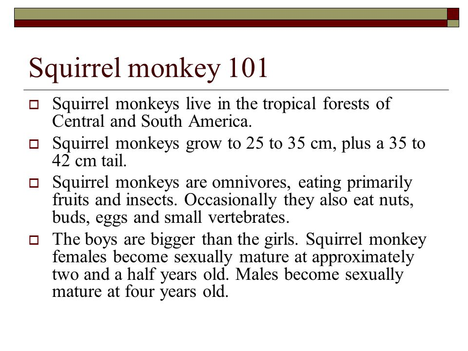 Squirrel monkey 101  Squirrel monkeys live in the tropical forests of Central and South America.