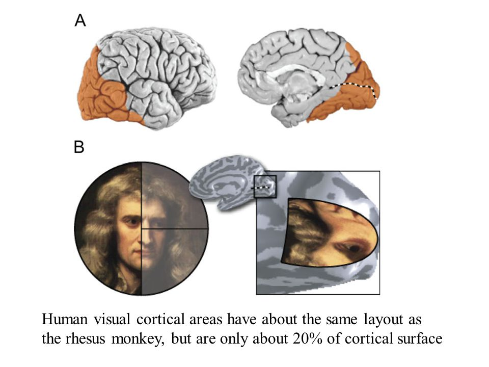 Human visual cortical areas have about the same layout as the rhesus monkey, but are only about 20% of cortical surface