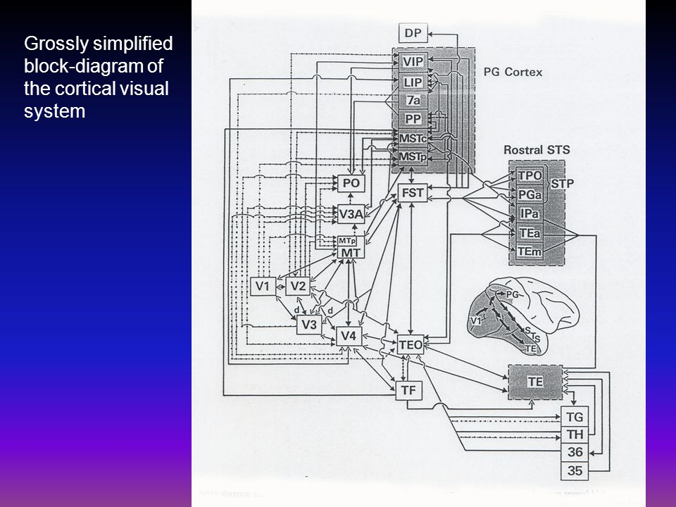 Grossly simplified block-diagram of the cortical visual system