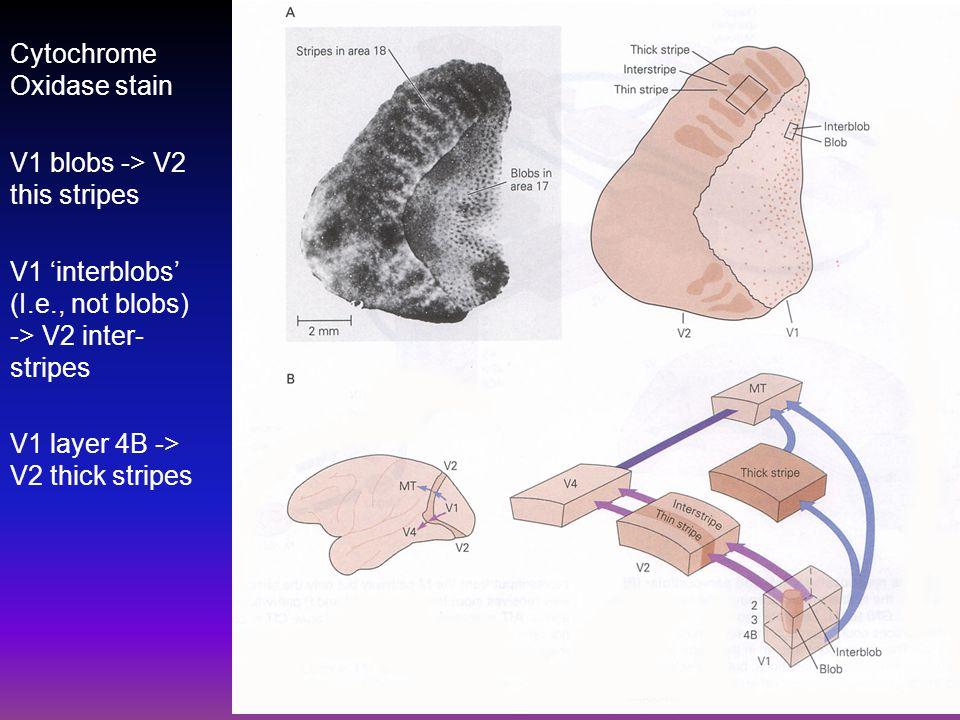 Cytochrome Oxidase stain V1 blobs -> V2 this stripes V1 'interblobs' (I.e., not blobs) -> V2 inter- stripes V1 layer 4B -> V2 thick stripes