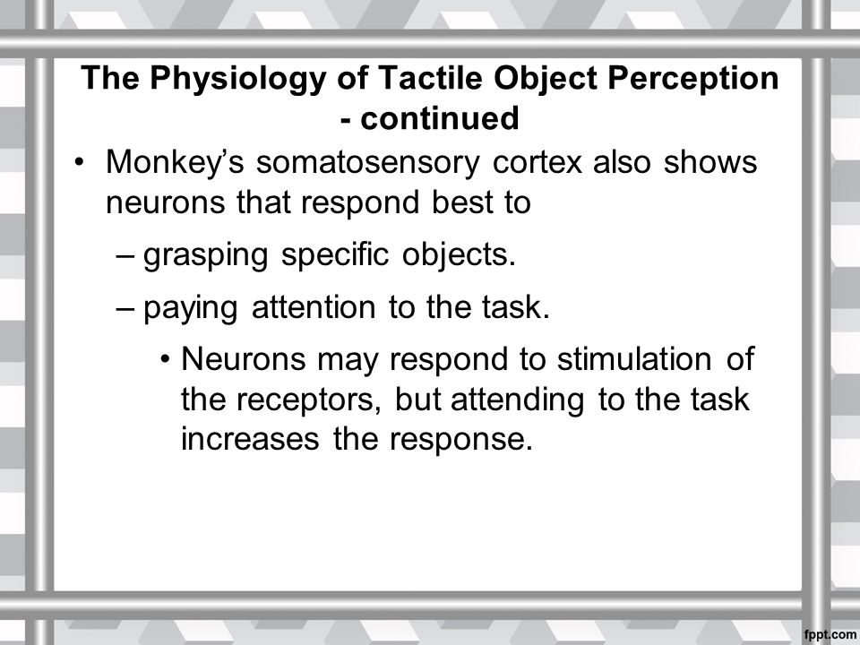 The Physiology of Tactile Object Perception - continued Monkey's somatosensory cortex also shows neurons that respond best to –grasping specific objects.