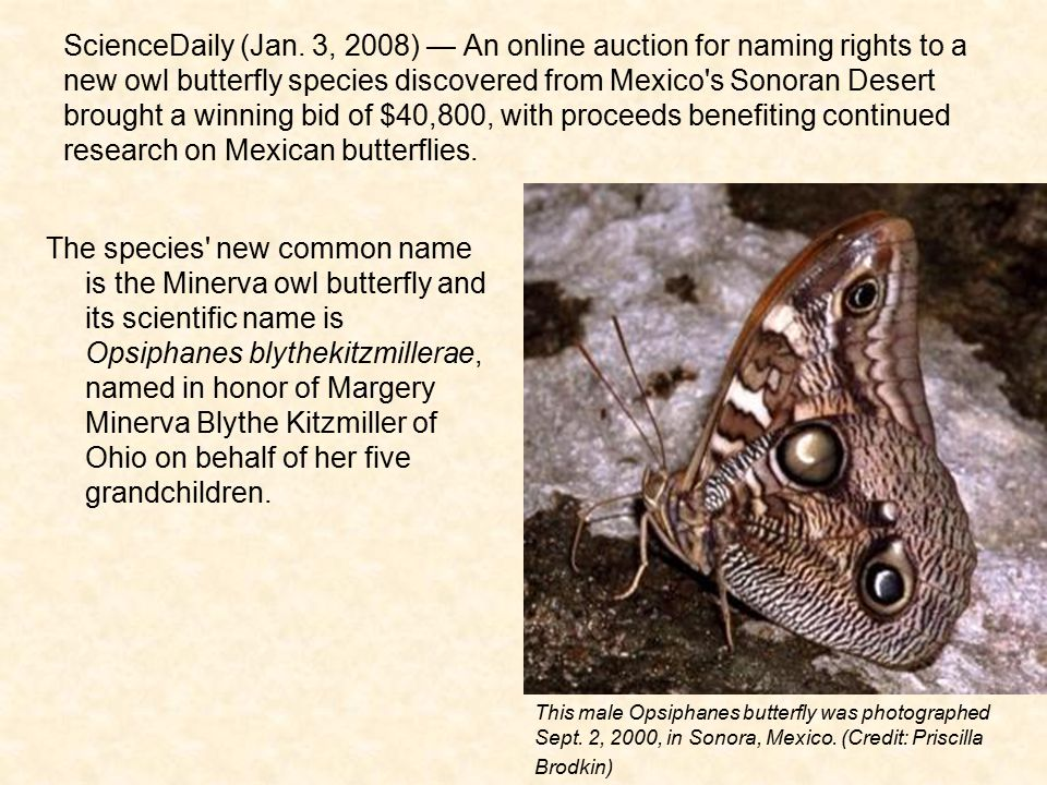 ScienceDaily (Jan. 3, 2008) — An online auction for naming rights to a new owl butterfly species discovered from Mexico's Sonoran Desert brought a win