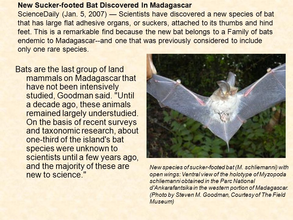 New Sucker-footed Bat Discovered In Madagascar ScienceDaily (Jan. 5, 2007) — Scientists have discovered a new species of bat that has large flat adhes