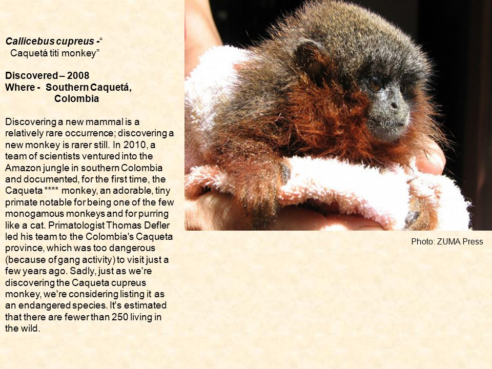 "Photo: ZUMA Press Callicebus cupreus -"" Caquetá titi monkey"" Discovered – 2008 Where - Southern Caquetá, Colombia Discovering a new mammal is a relati"