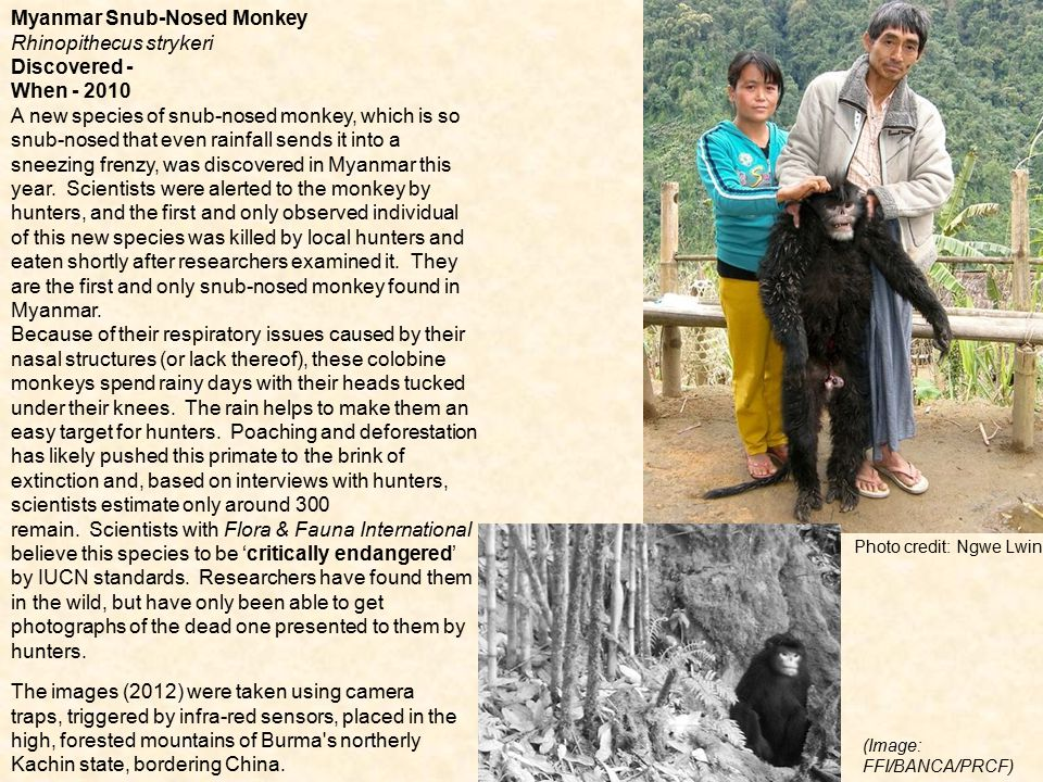 Photo credit: Ngwe Lwin Myanmar Snub-Nosed Monkey Rhinopithecus strykeri Discovered - When - 2010 A new species of snub-nosed monkey, which is so snub