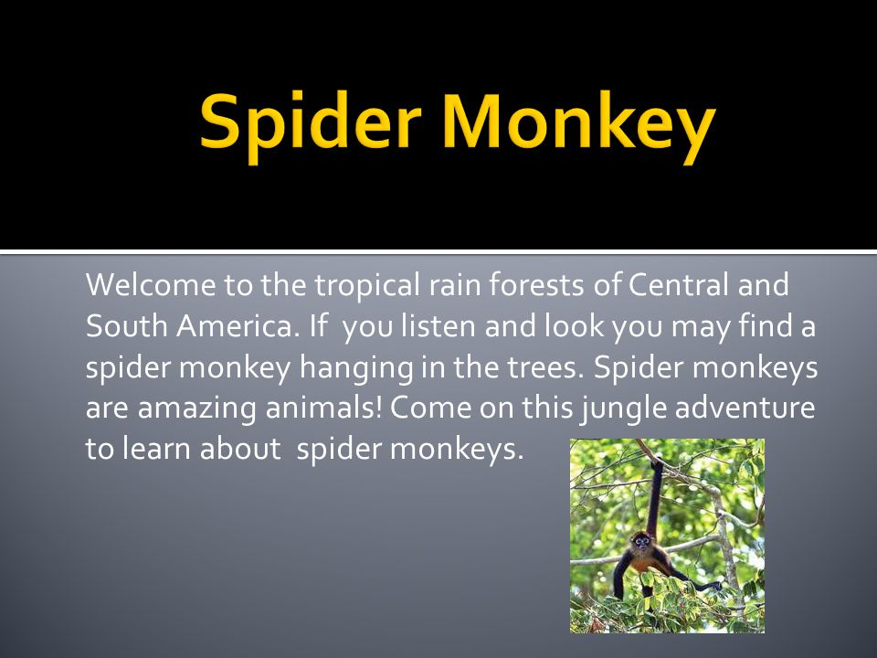 Spider monkeys eat many different food from the jungle berries fruit insects reptiles.
