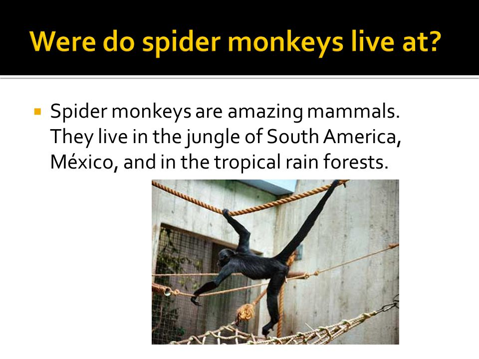  Spider monkeys have long lanky arms and gripping tails.