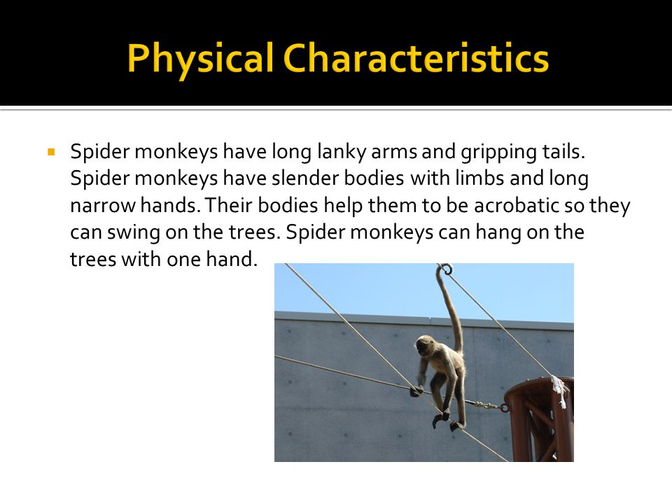  Spider monkeys have adaptations.
