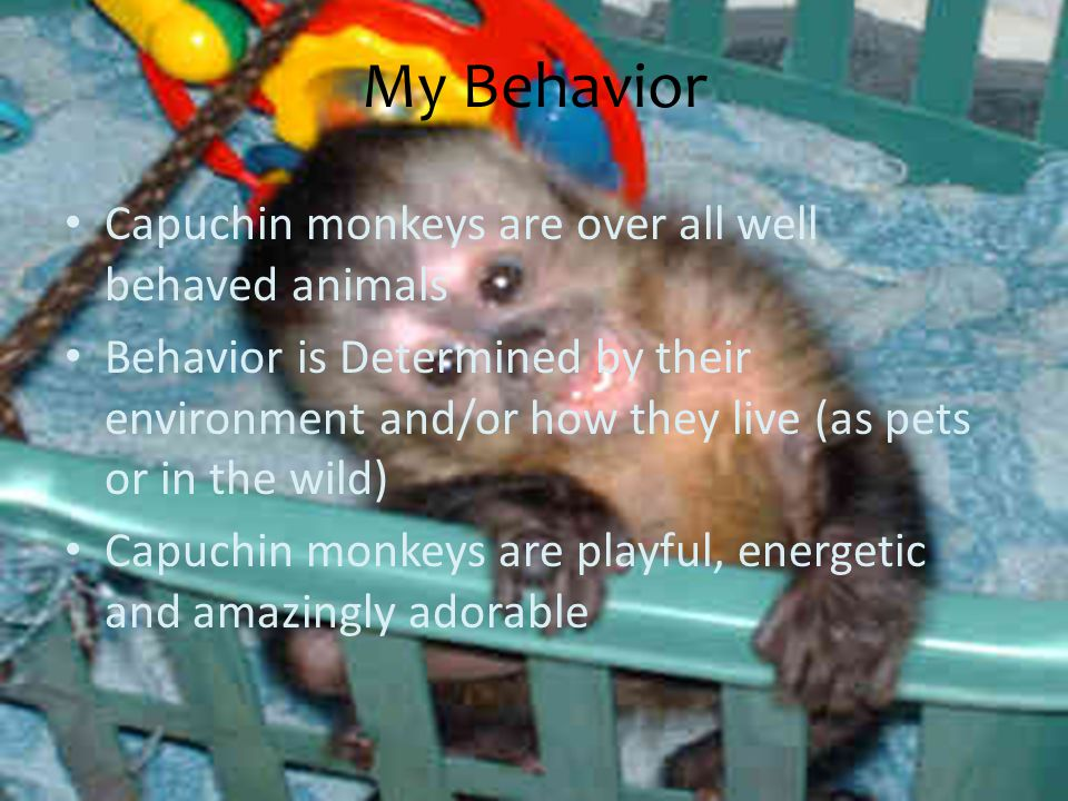 My Behavior Capuchin monkeys are over all well behaved animals Behavior is Determined by their environment and/or how they live (as pets or in the wild) Capuchin monkeys are playful, energetic and amazingly adorable